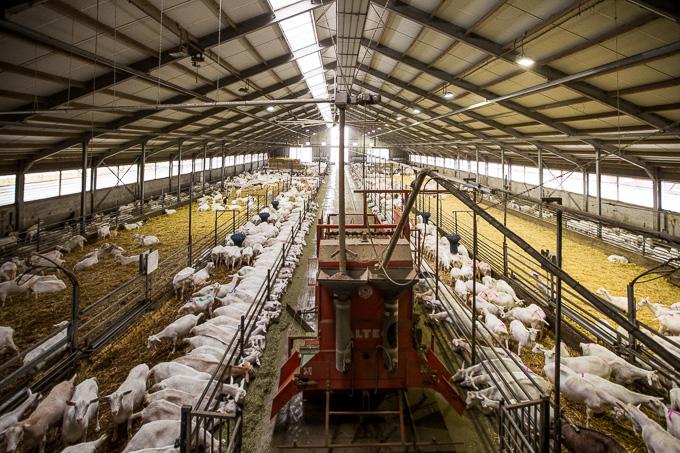 Geitenboerderij te koop friesland